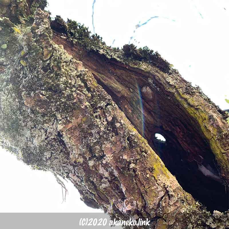 梅の古木の大きな穴