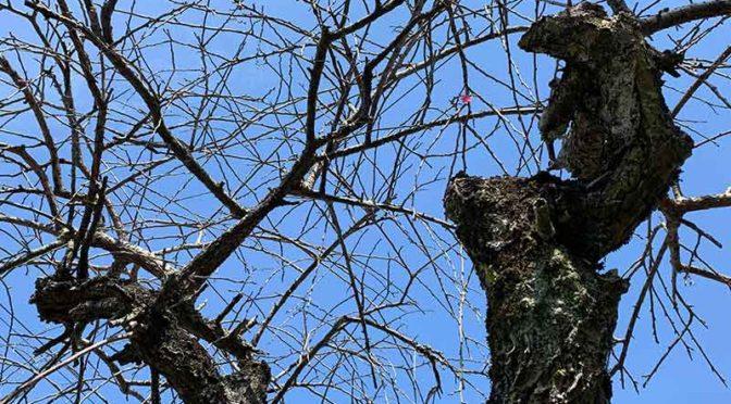 古木の若返りを図る:しだれ梅の剪定