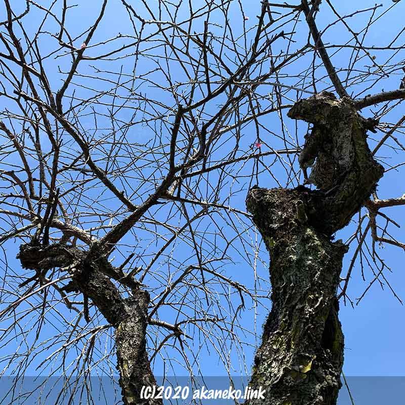 赤梅と白梅を接ぎ木した枝垂れ梅の古木の込み入った枝ぶり