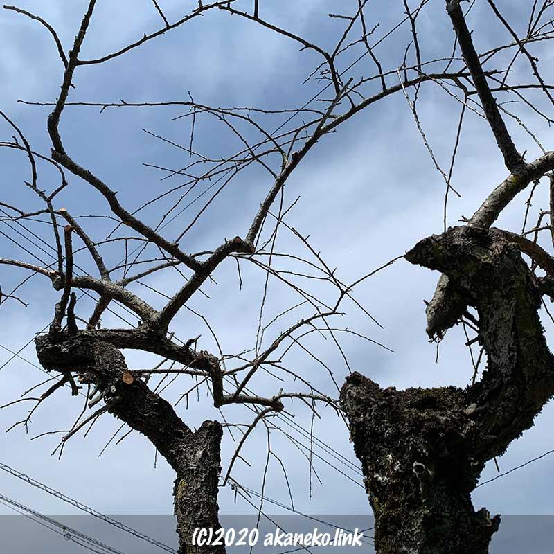 剪定後の枝垂れ梅