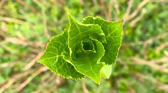 紫陽花の新芽