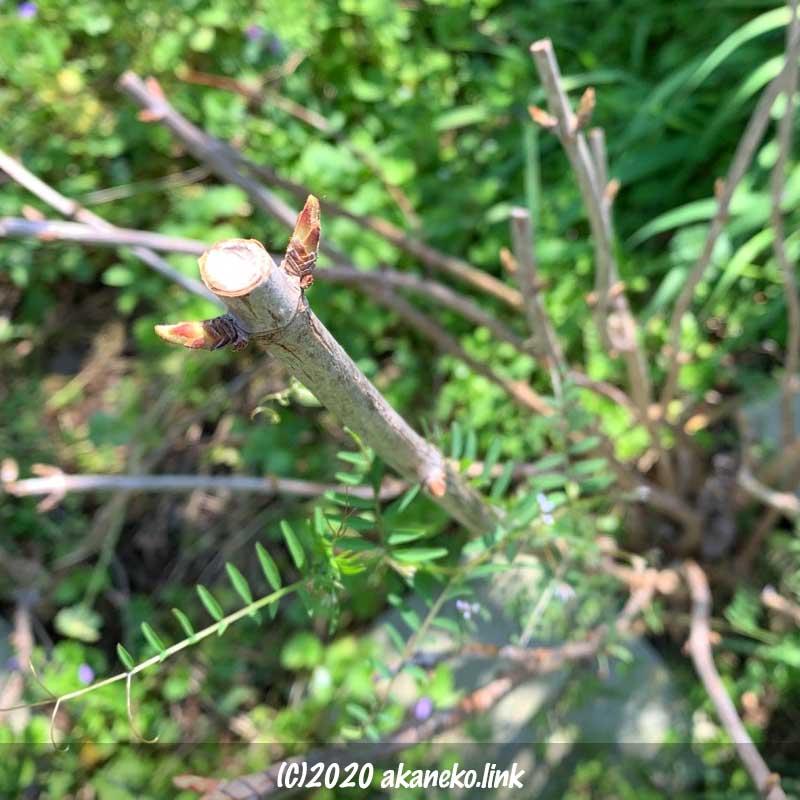 紫陽花アナベルの新芽