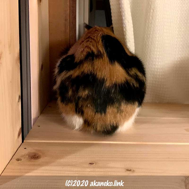 窓から夜の庭を眺めている尻尾がない三毛猫のお尻