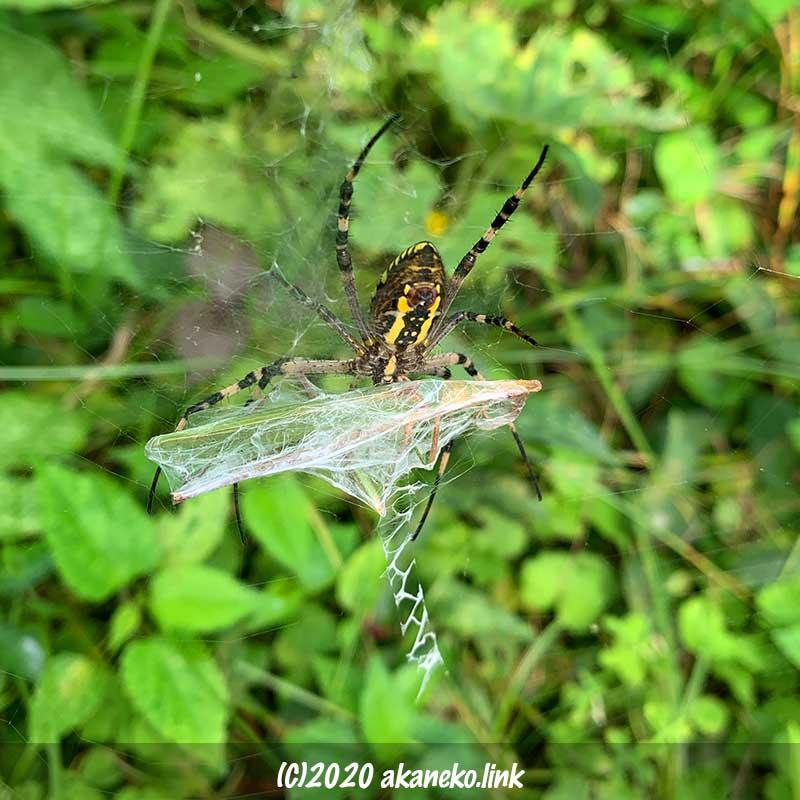 ナガコガネグモの捕食(獲物はバッタ)