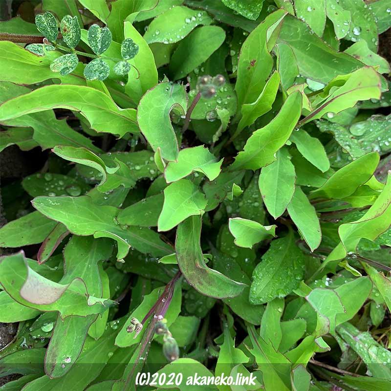 春のオオジシバリの葉のみずみずしい緑