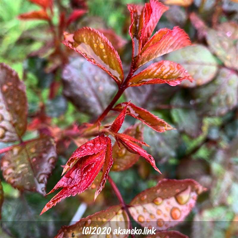 バラ、クイーンエリザベスの新芽の鮮やかな赤