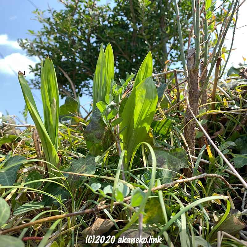 春、紫蘭の発芽