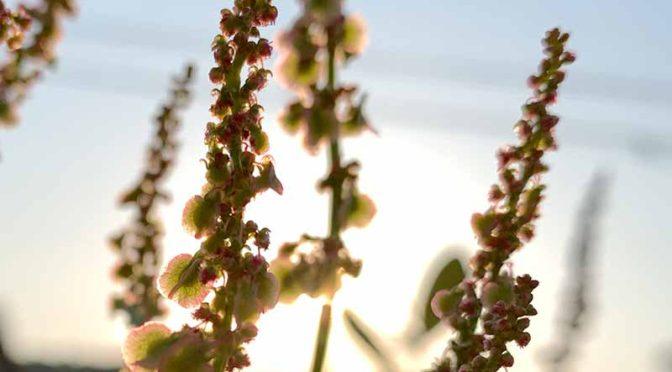 夕日に沈むスイバの花穂
