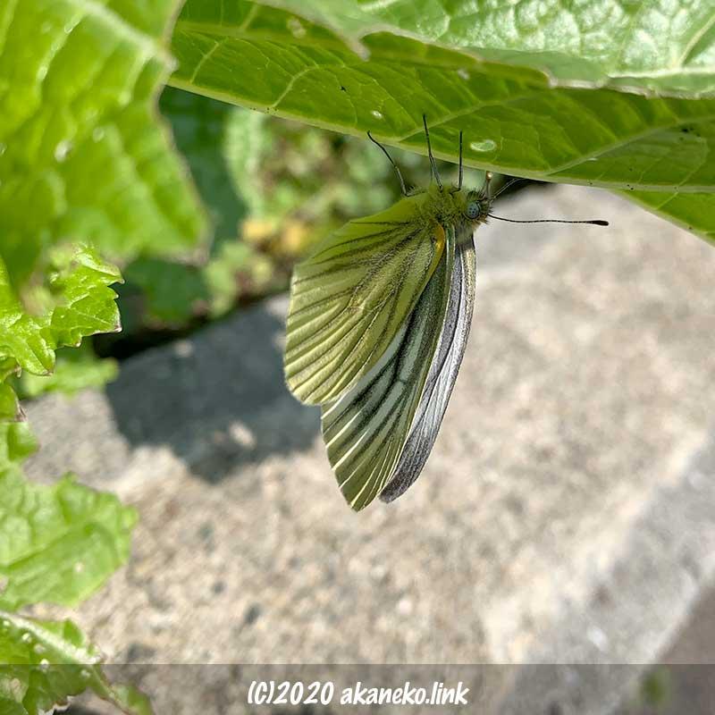 蕾菜の葉裏にとまるスジグロシロチョウ