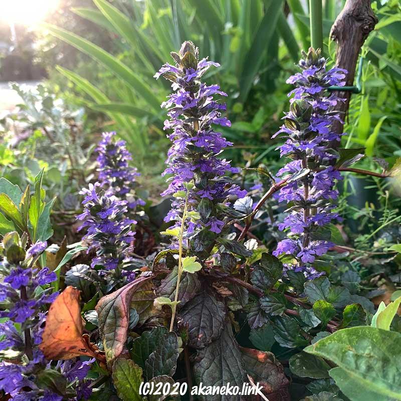 葡萄の足元でさくアジュガの花