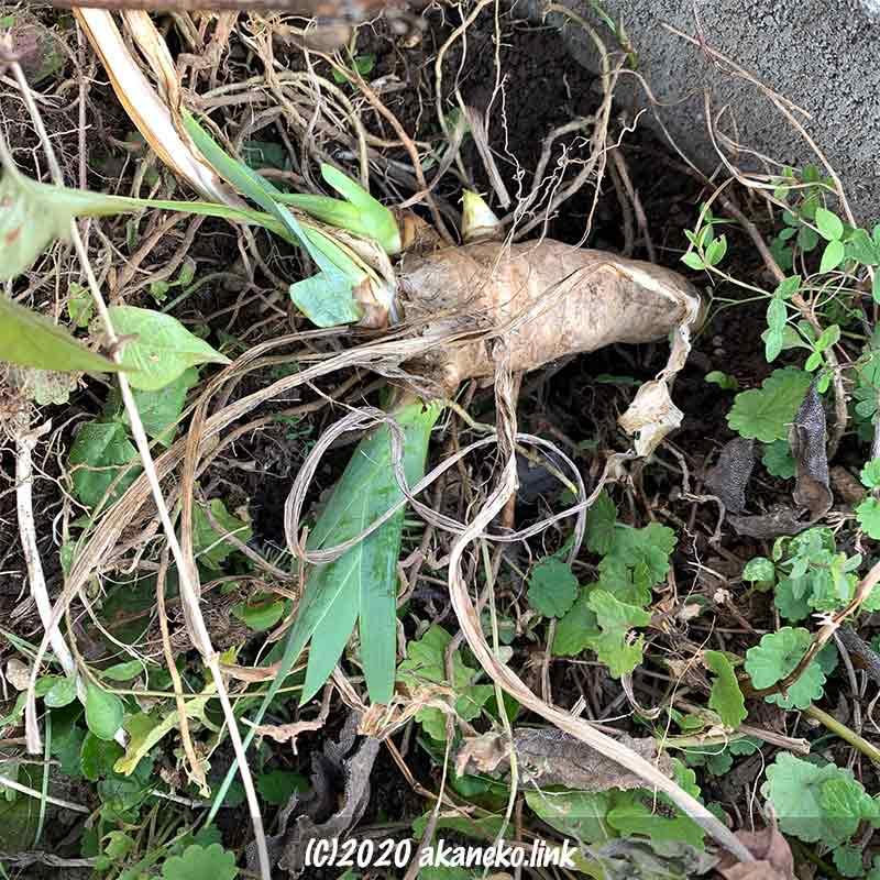 雑草の中にジャーマンアイリスの球根を植える