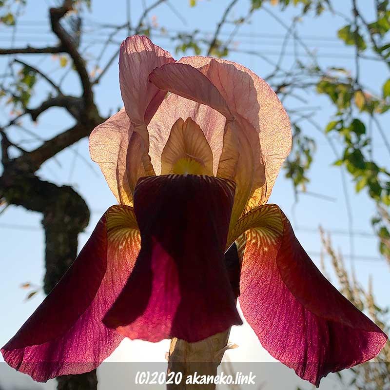 夕日に透けるジャーマンアイリスの花