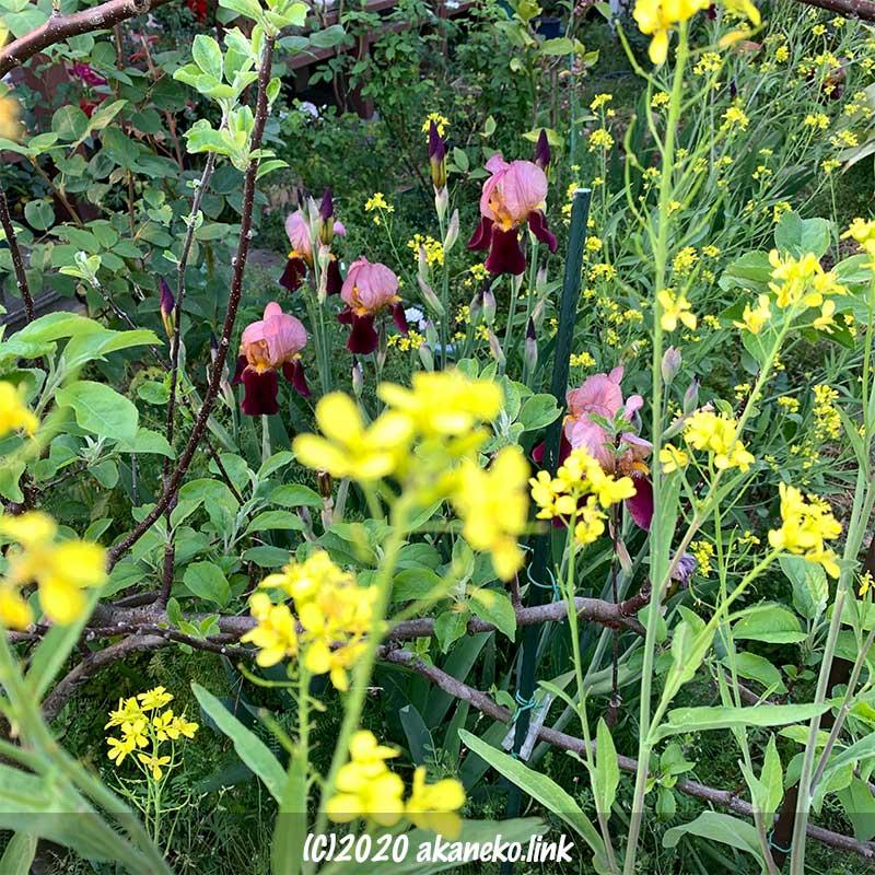 ジャーマンアイリスと菜の花