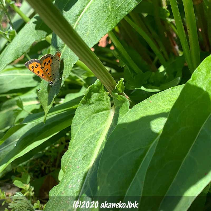 スイバにやってきた蝶(ベニシジミ)