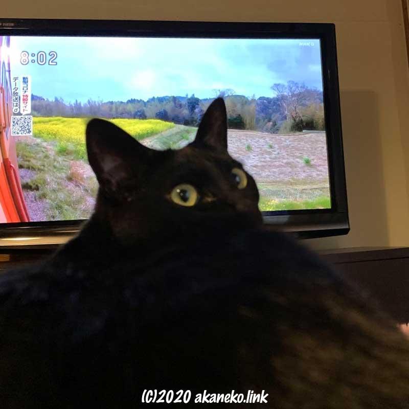 テレビの前で振り返る黒猫