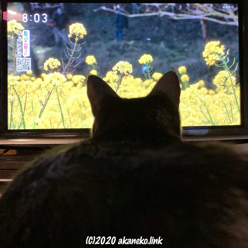 菜の花が映るテレビ画面を見入る猫の後ろ頭