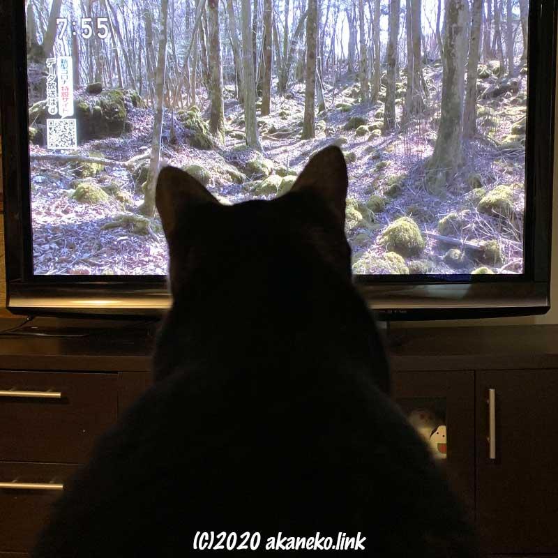 林が映ったテレビ画面を見つめる猫の後ろ姿