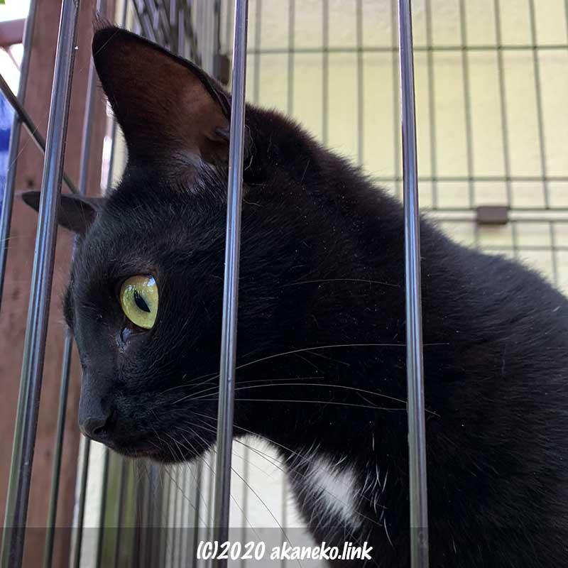ケージの外の何かを凝視している黒猫の横顔