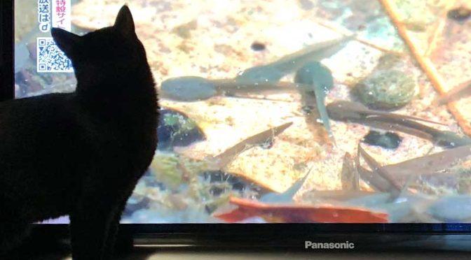 テレビに映ったおたまじゃくしを見る猫