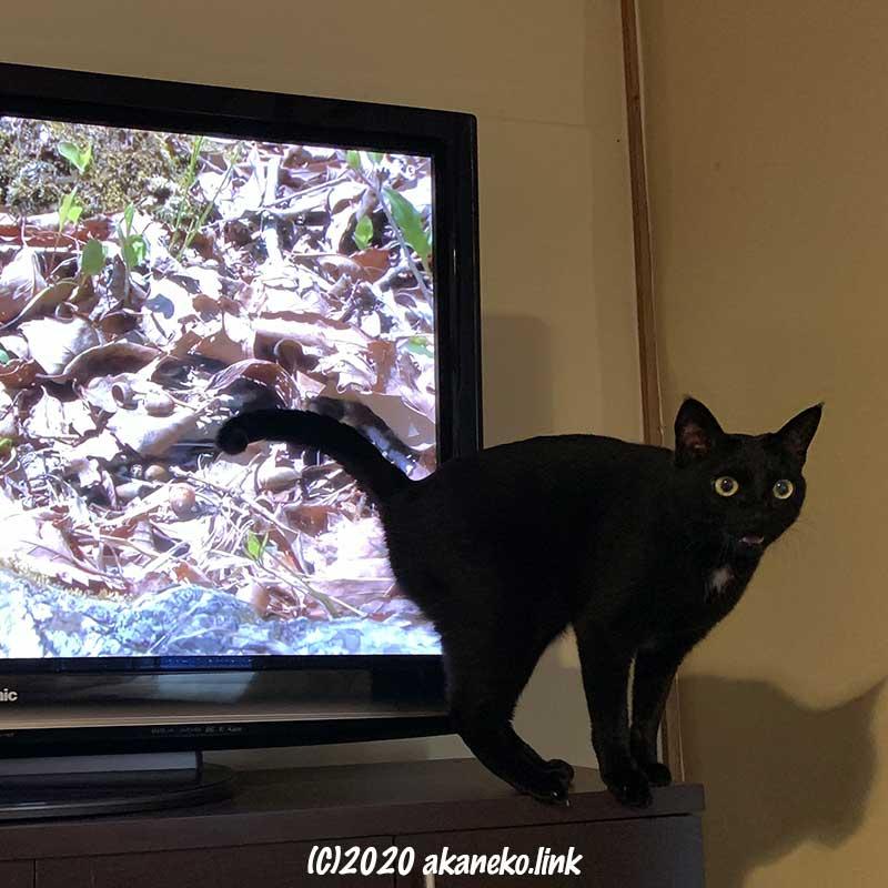 テレビの前で何かを訴える黒猫