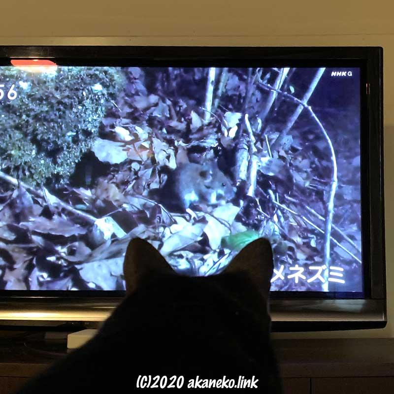 テレビの中のネズミを見る猫の後ろ頭