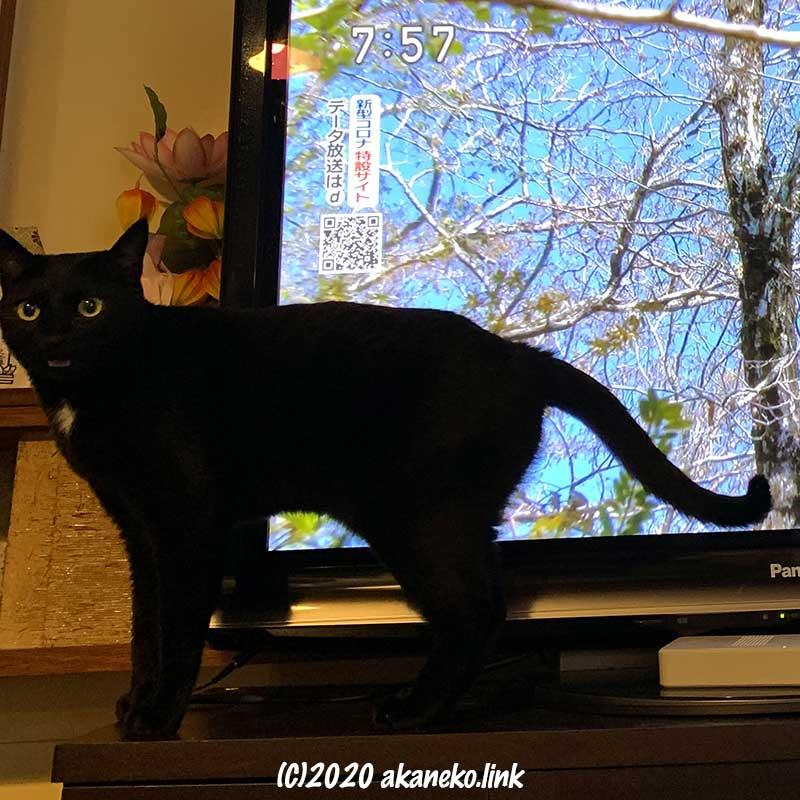 テレビの前からこちらに向かって鳴く黒猫