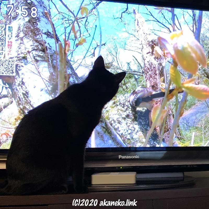 テレビ画面の鳥に見入る猫