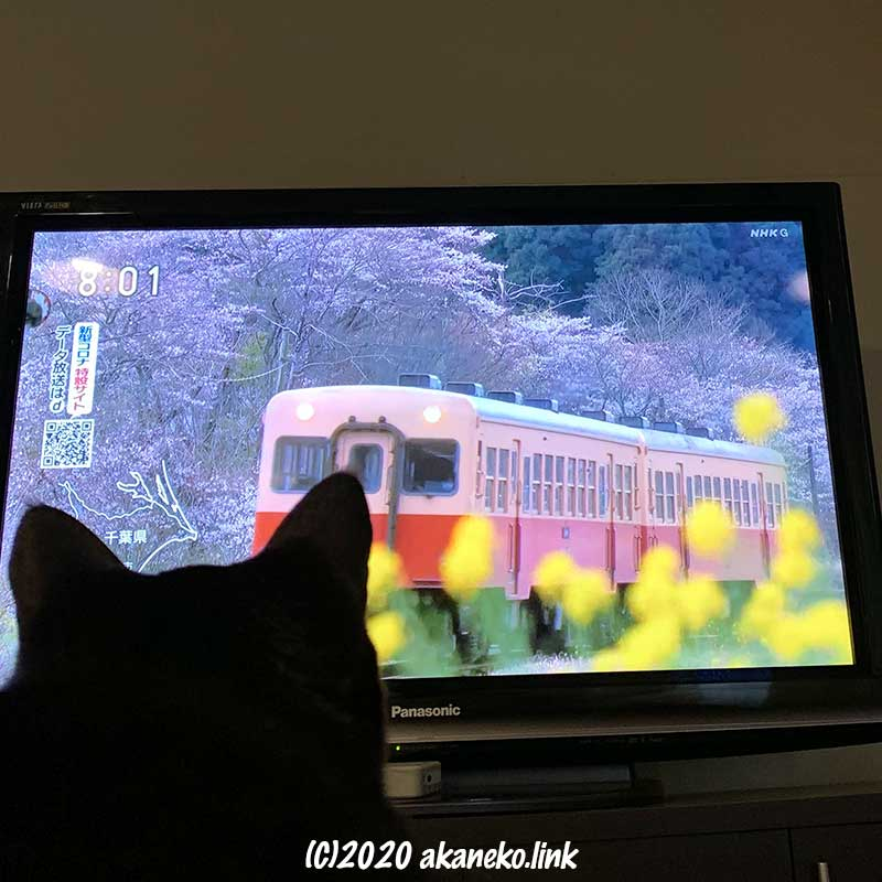テレビに映る電車を見る猫の後ろ頭