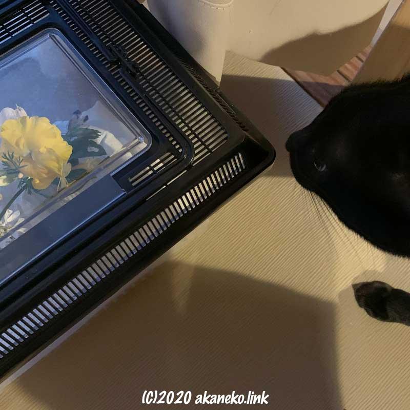 モンシロチョウの入った虫かごに近づく黒猫
