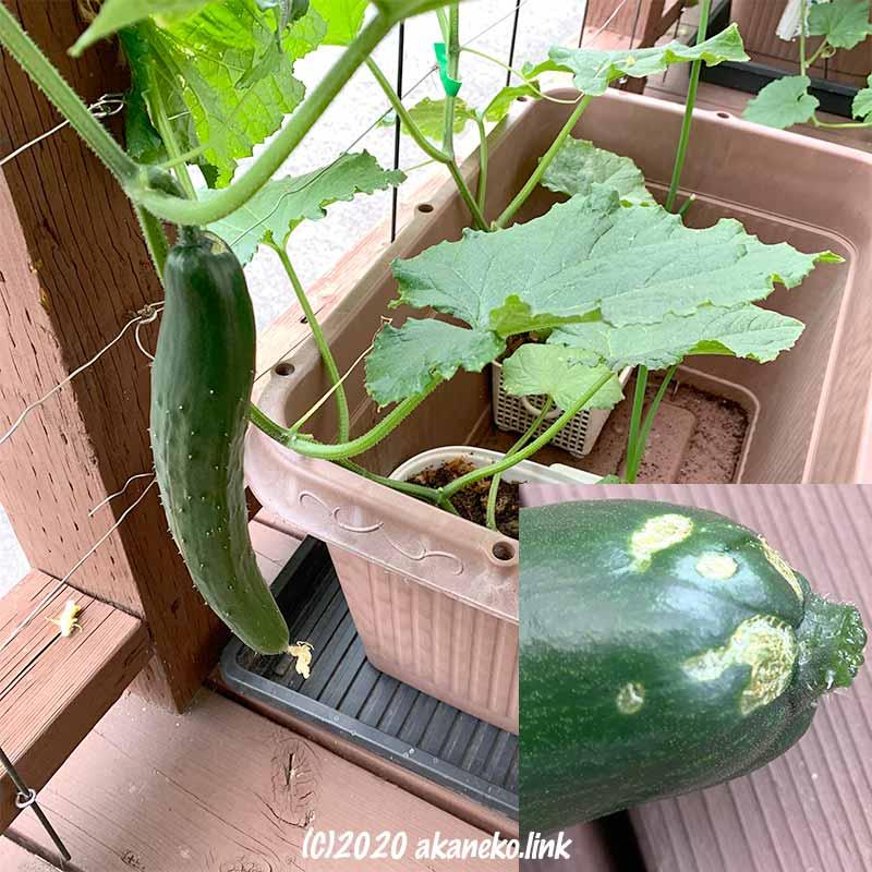 水耕栽培きゅうり(夏すずみ)の初収穫