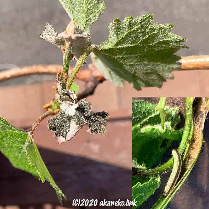 葡萄の萎れた新芽と茎の中の芋虫