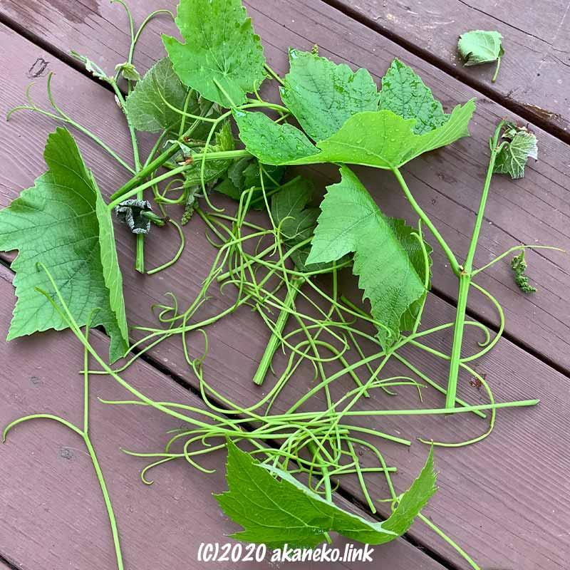 葡萄のつると萎れた新芽を切り取る