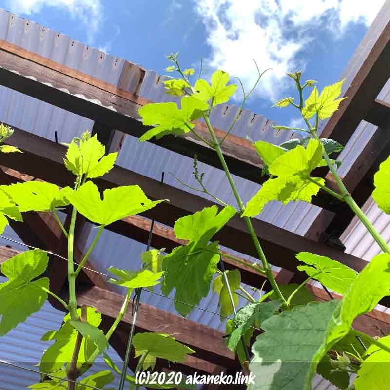 空に向かって伸びる葡萄(ヒムロッドシードレス)の枝