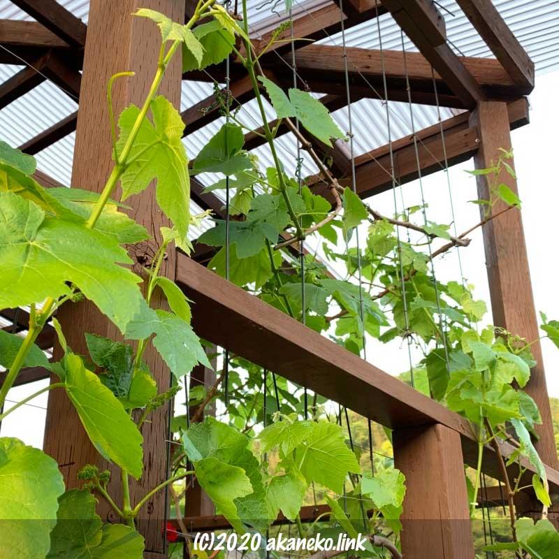 5月の葡萄(ヒムロッドシードレス)のグリーンカーテン