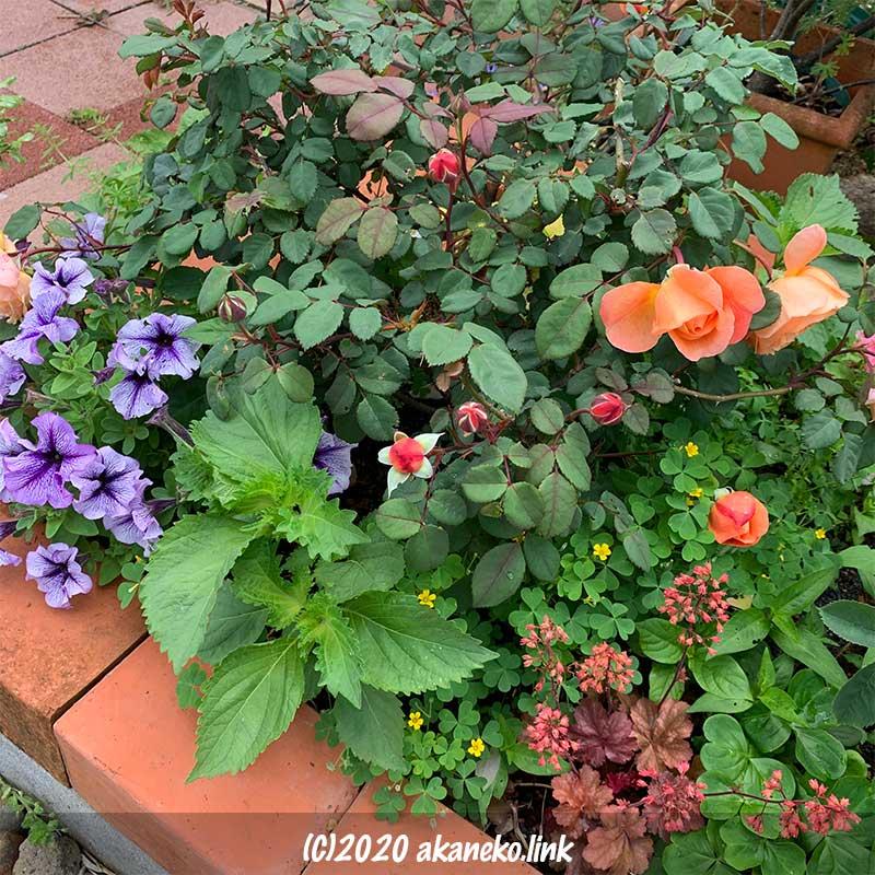 バラの花壇にシソとカタバミも一緒に