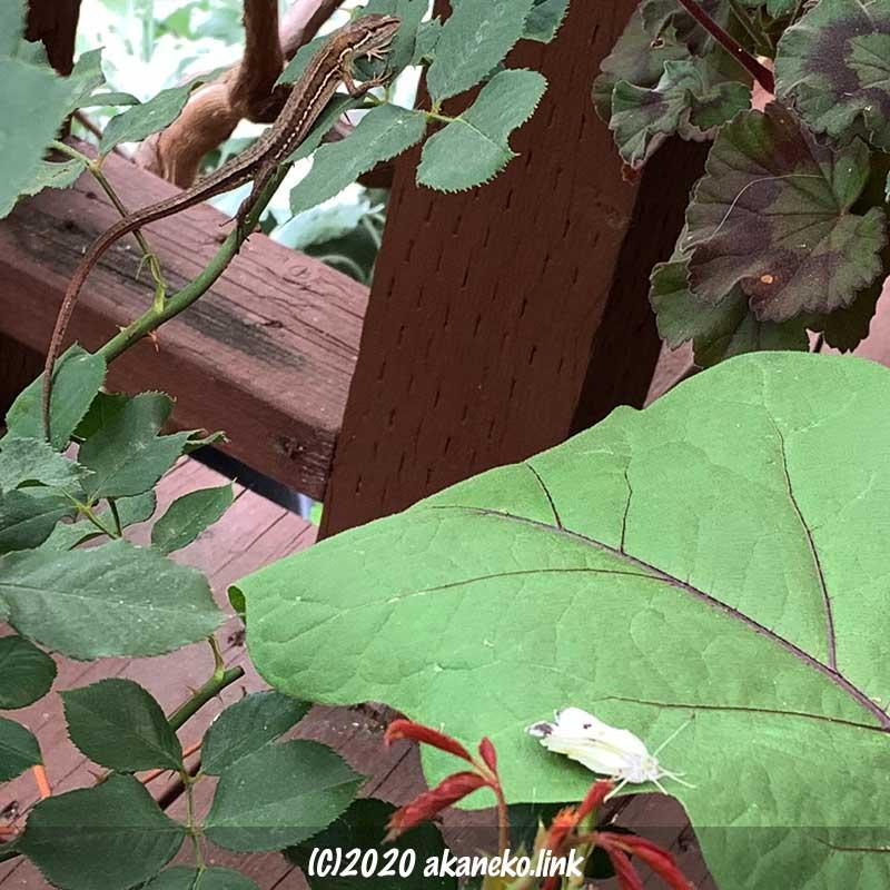 羽化不全のモンシロチョウを狙うニホンカナヘビ