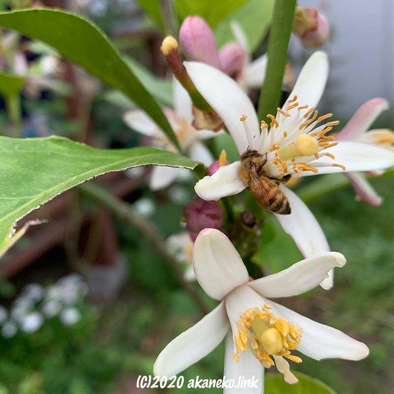 レモンの花にやって来たミツバチ