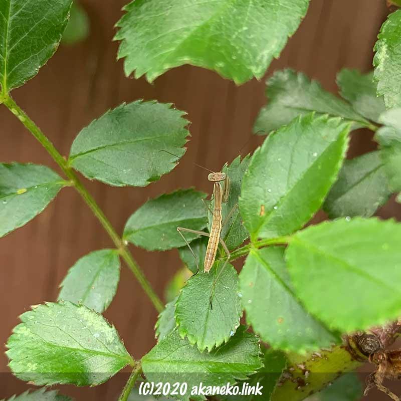 バラ(バレリーナ)の葉の上のカマキリの幼虫