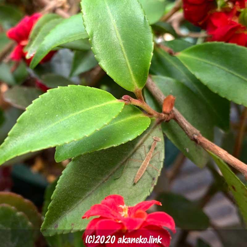 椿の葉の上のカマキリの幼虫