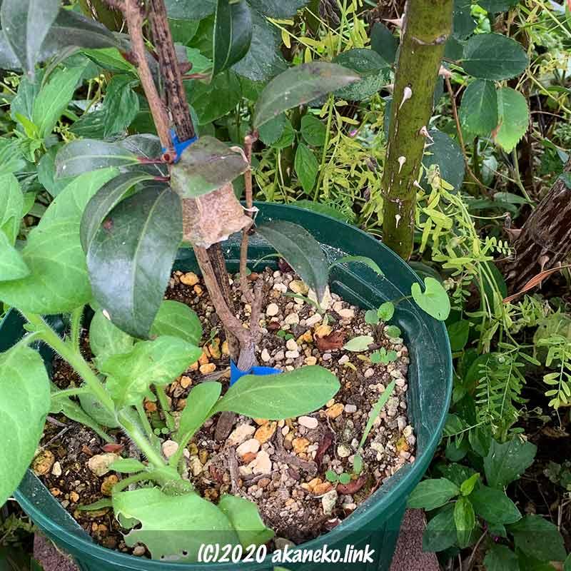 バラの株元に置いた、カマキリの卵付きの椿の鉢植え