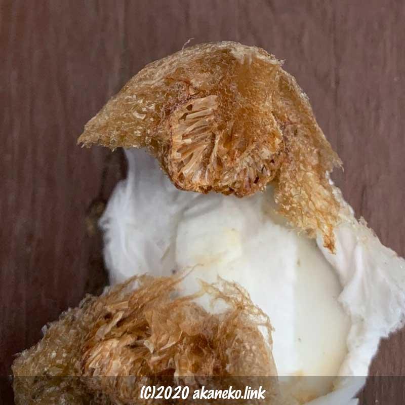 孵化後のオオカマキリの卵嚢を半分にカット