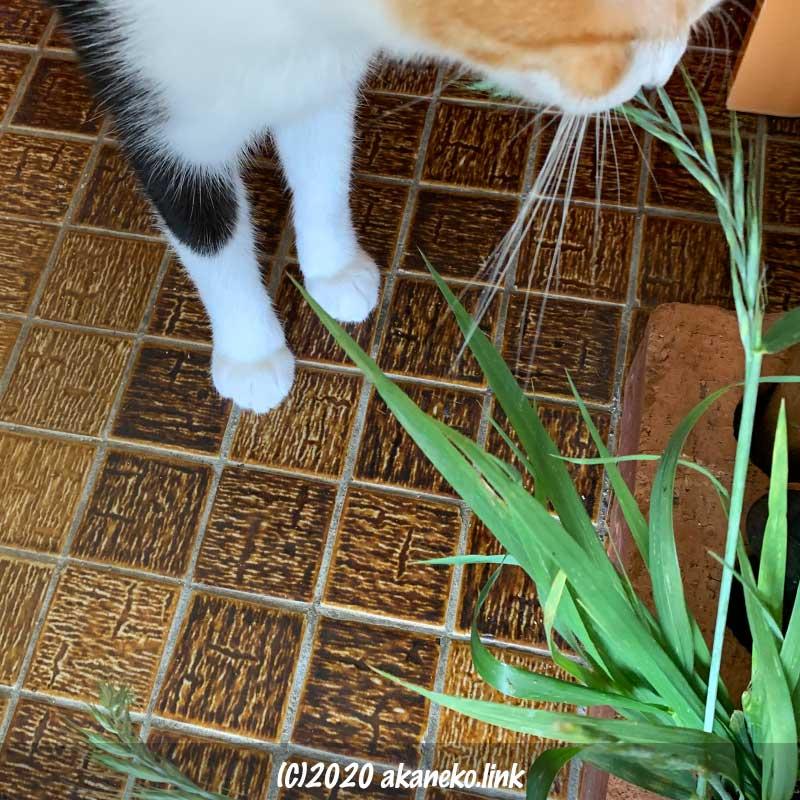 イネ科の植物の穂を嗅ぐ三毛猫