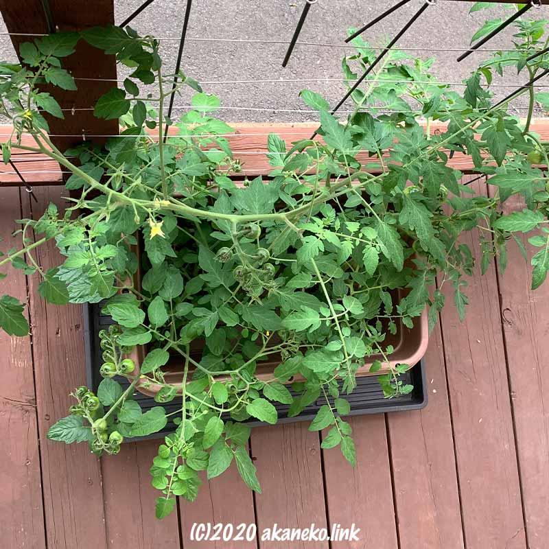ミニトマトの水耕栽培を初めて2ヶ月経過
