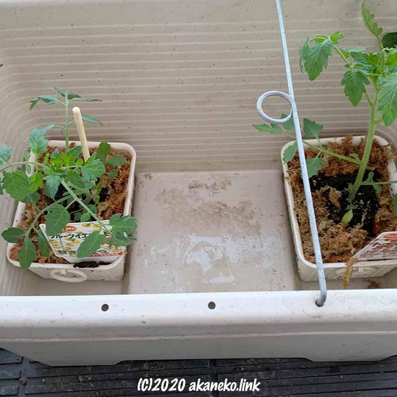 小さなカゴと水苔を使って水耕栽培開始