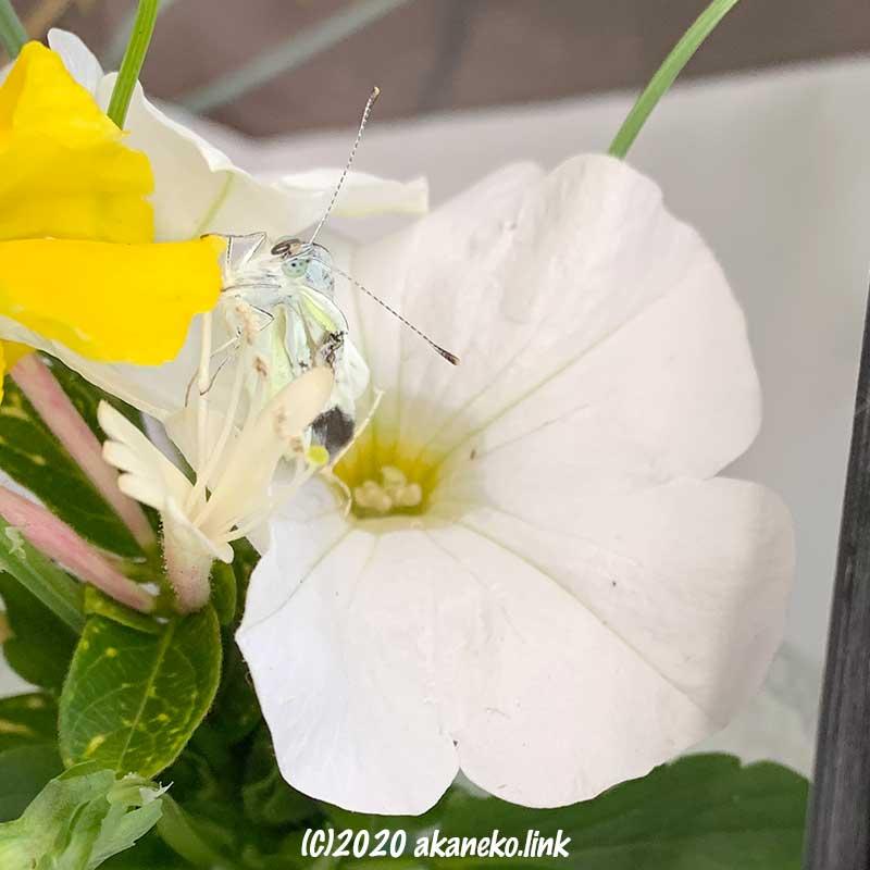 ハニーサックルの花に捕まる羽化不全のモンシロチョウ