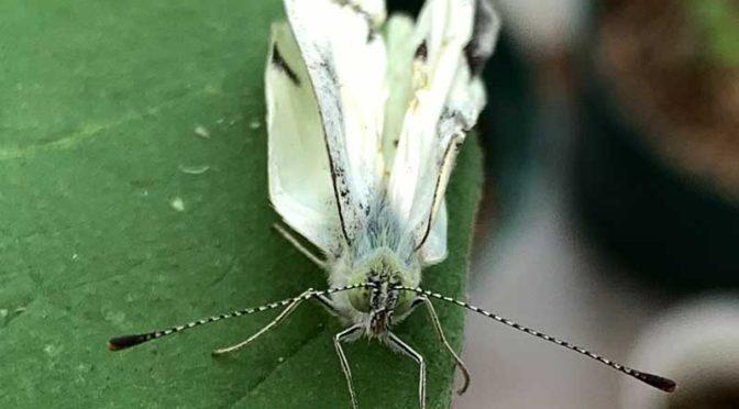 翅がクシャクシャの羽化不全のモンシロチョウ