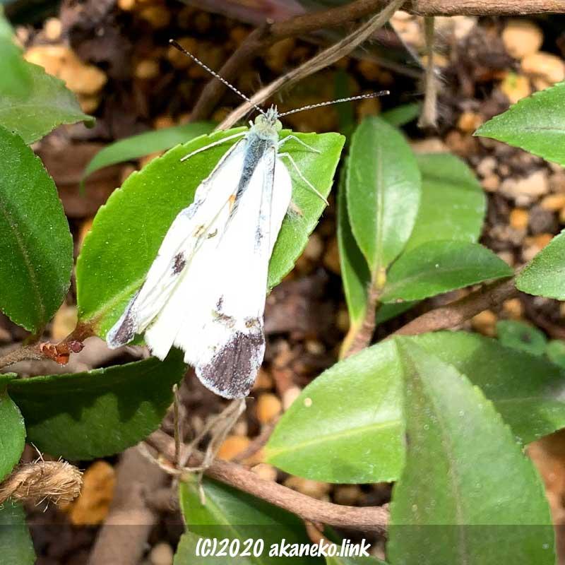 椿の葉の上の翅がくしゃくしゃのモンシロチョウ