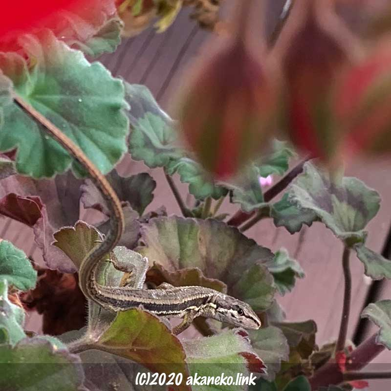 ゼラニウムの葉でこちらを睨んでいるニホンカナヘビ