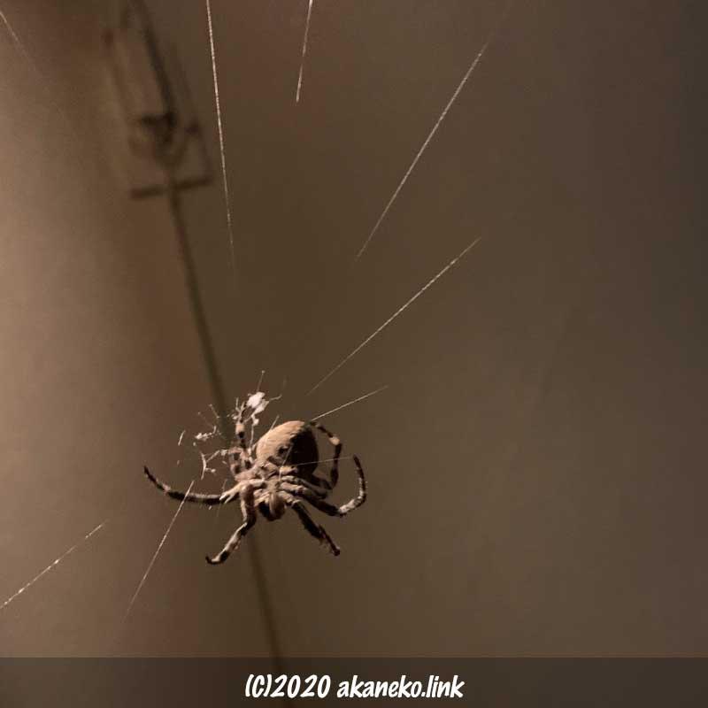 玄関灯の明かりに浮かび上がる巣作り中のオニグモ