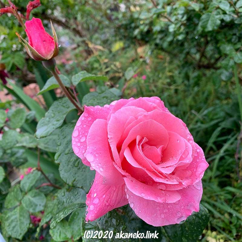 雨の中のピンクのバラ(クイーンエリザベス)